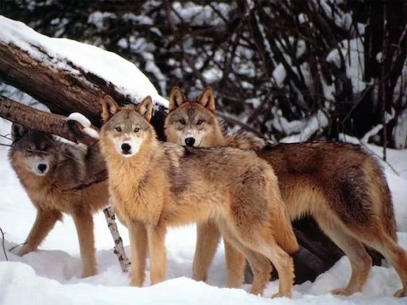 Lobos em Yellowstone